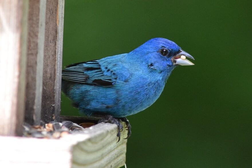 indigo_bunting_bird_022619.jpg
