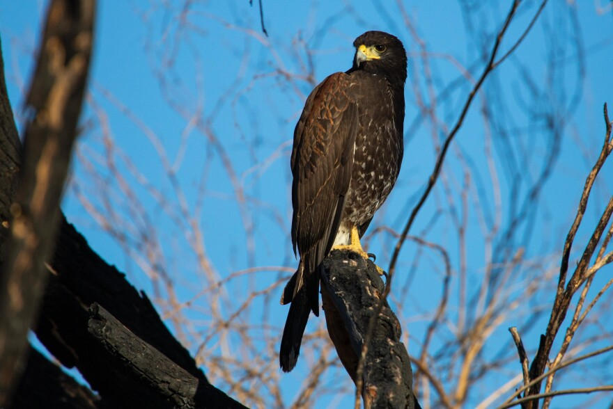 A Harris's hawk visits during our morning coffee. A non-migratory species, they are found only in small patches in the southwestern U.S., Mexico and Central America.