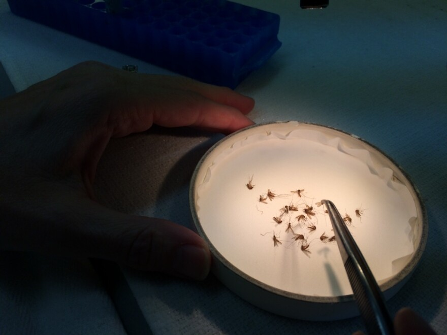 Bethany Bolling sorts mosquitoes at a Texas Department of State Health Services lab in Austin.