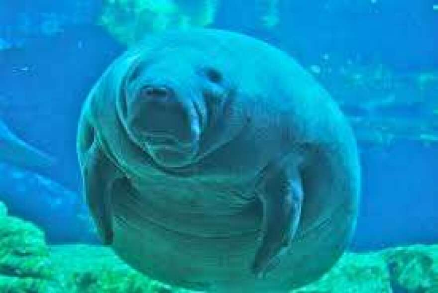 The number of manatee deaths caused by watercraft could hit an all-time high in Florida this year.