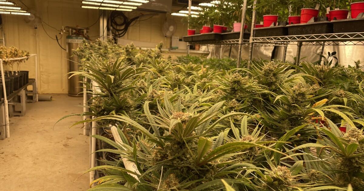 As Marijuana Industry In Oklahoma Booms, Rural Utilities Feel Growing Pains - KCUR