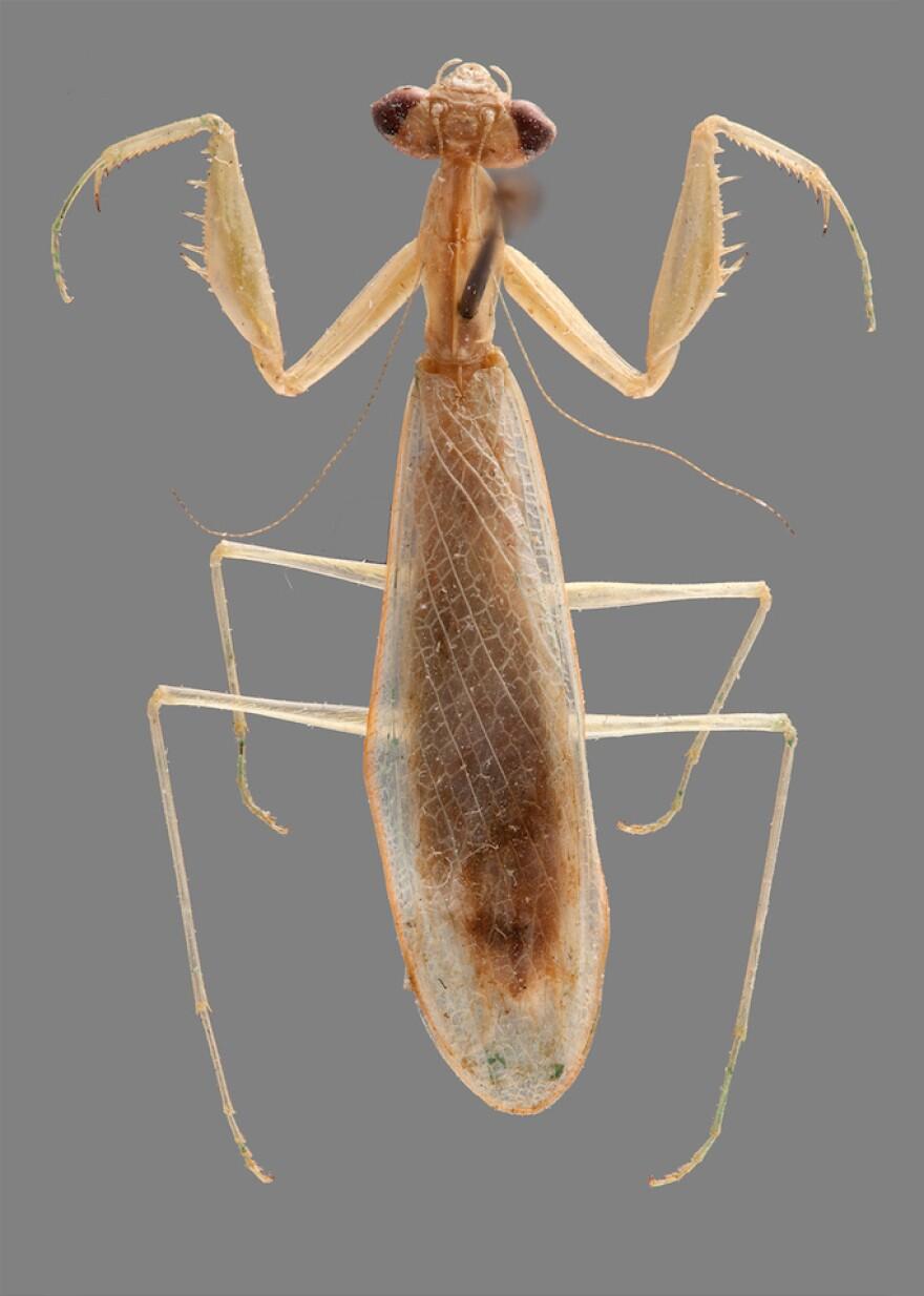 <em>Ilomantis ginsburgae</em> is a newly identified species of leaf-dwelling praying mantis, named after U.S. Supreme Court Justice Ruth Bader Ginsburg.