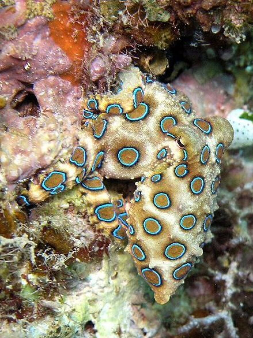 Does this blue-ringed octopus scare you?
