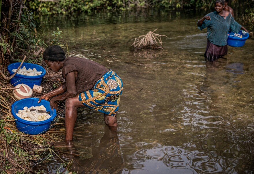 Cassava is safe to eat after the roots have been soaked in water for about a week. The water degrades the cyanide found in the plant. Here, women soak cassava in the river.