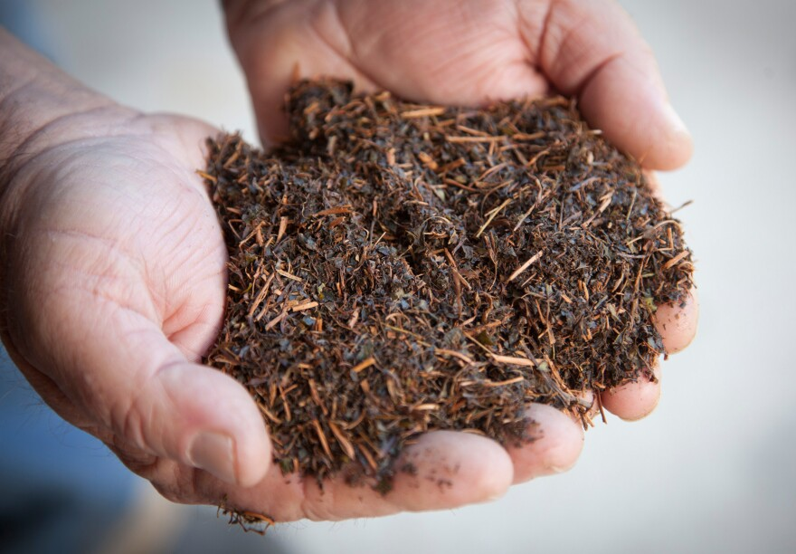 An employee holds dried tea leaves at the Charleston Tea Plantation on Wadmalaw Island, S.C.