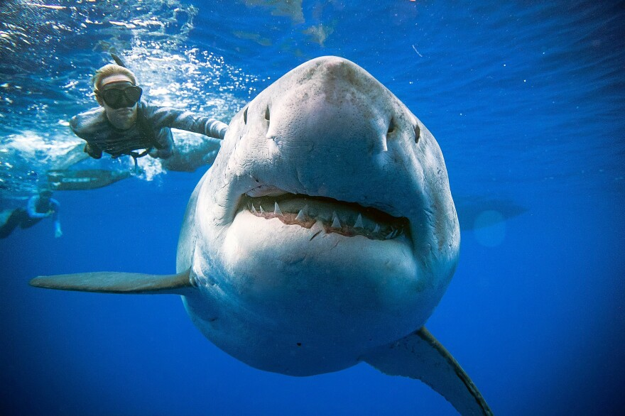 Ramsey says Deep Blue looked pregnant, which could explain how the great white ended up off the coast of Oahu. Pregnant sharks are known to follow whales across the Pacific.