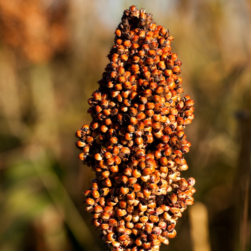 Millet can thrive in hot and dry places water-hungry crops can't.