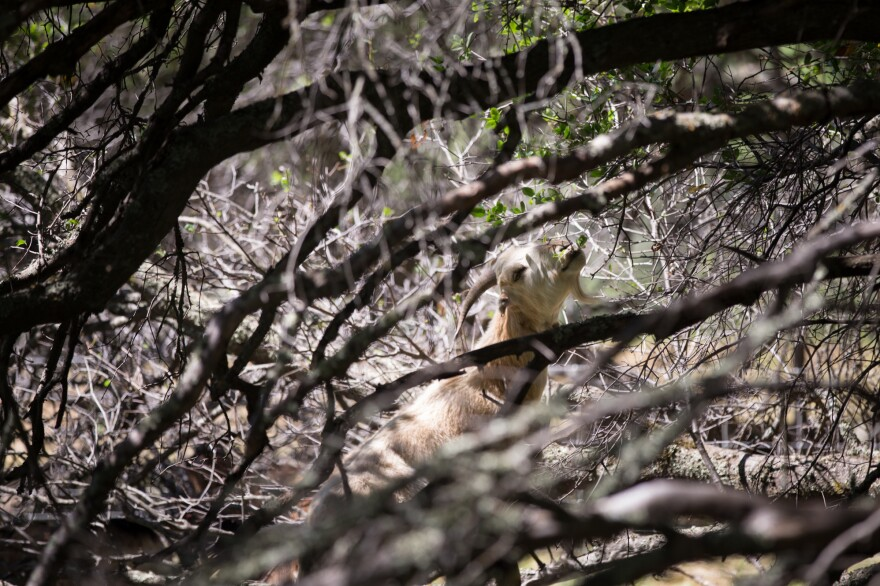 A hired goat eats vegetation on a private landowner's property in Auburn, Calif. Legacy Ranching hires out a mix of goats and sheep for fuel reduction jobs. The goats can climb trees and eat fuel high up while the sheep take care of the grasses.