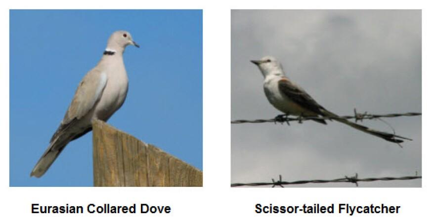 collared_dove.jpg