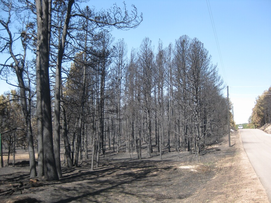 Burned trees abut a road in the Black Forest fire burn area. Picture taken 06/21/13.