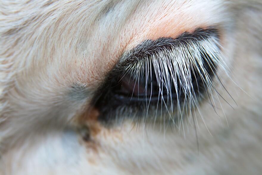 A calf sports platinum blonde lashes.