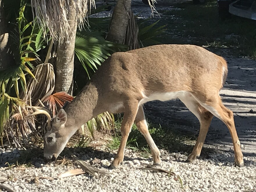The Key deer is named for its habitat in the Florida Keys. It's a tiny version of the white-tailed deer.