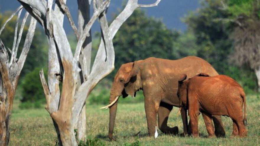 Elephants in Kenya's Tsavo-east National Park earlier this year.