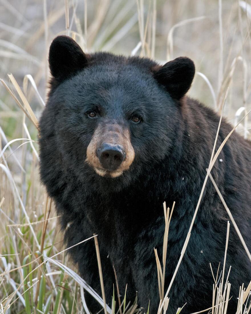 black_bear_closeup_gary_langley.jpg