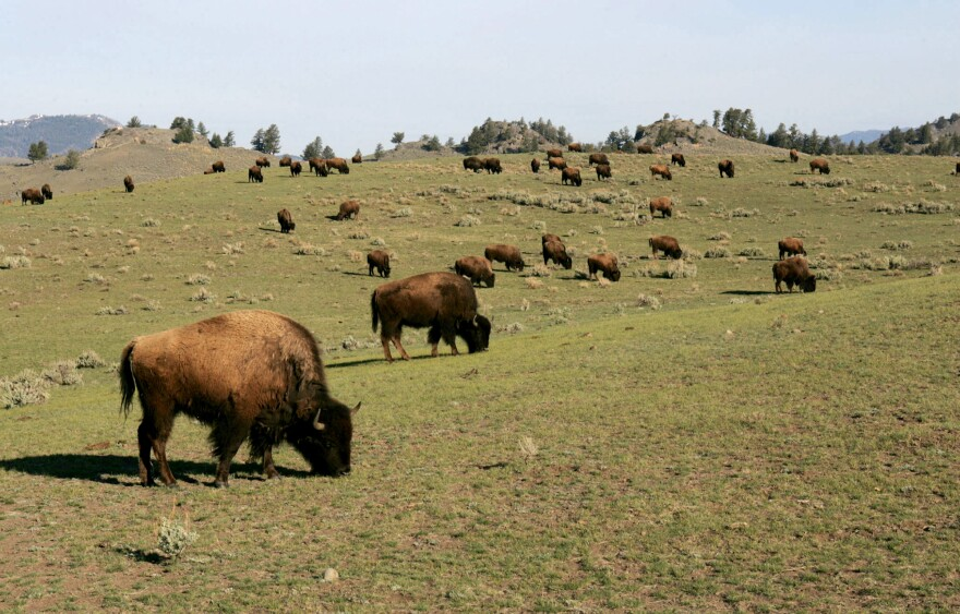 A bison herd roams the Little America section of Yellowstone National Park.