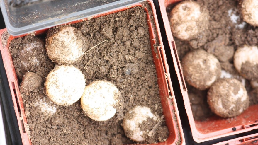 You can eat the eggs, or call a wildlife rescue team to incubate them properly
