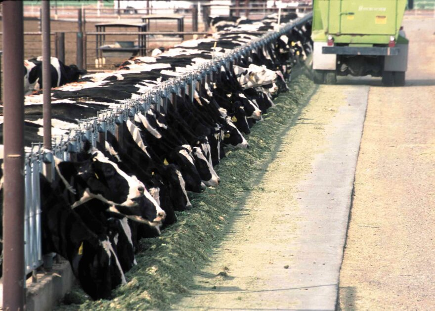 A concentrated animal feeding operation consisting of black and white dairy cows all in a row, feeding from a trough.