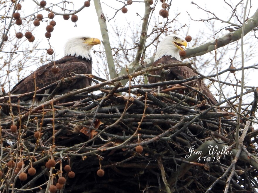 Bald eagles Willa and Orv are nesting at Carillon Park for the second year.