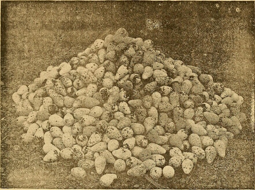 Eggs of the common murre collected from the Farallon Islands in the 1880s.