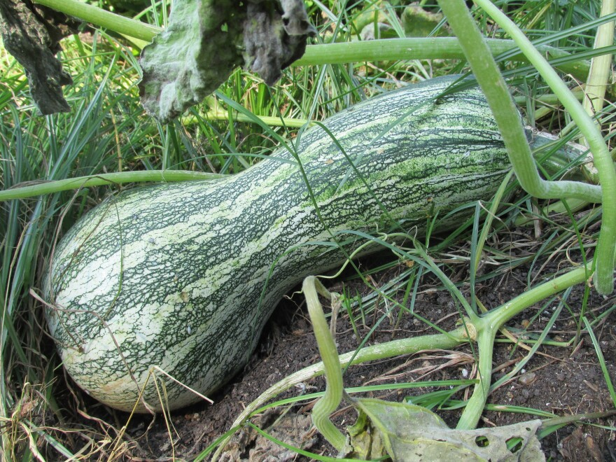 "Cushaw squash was common in 18th-century Virginia, but is  sold as an heirloom vegetable today. ""We get it all at once,"" Brust says. ""We candy it, dehydrate it, turn it into ice creams, bag it into sous vide bags and make raviolis out of it."""
