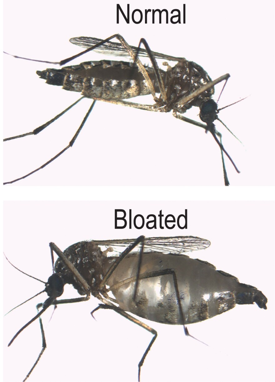 Femail mosquito, effect of feeding