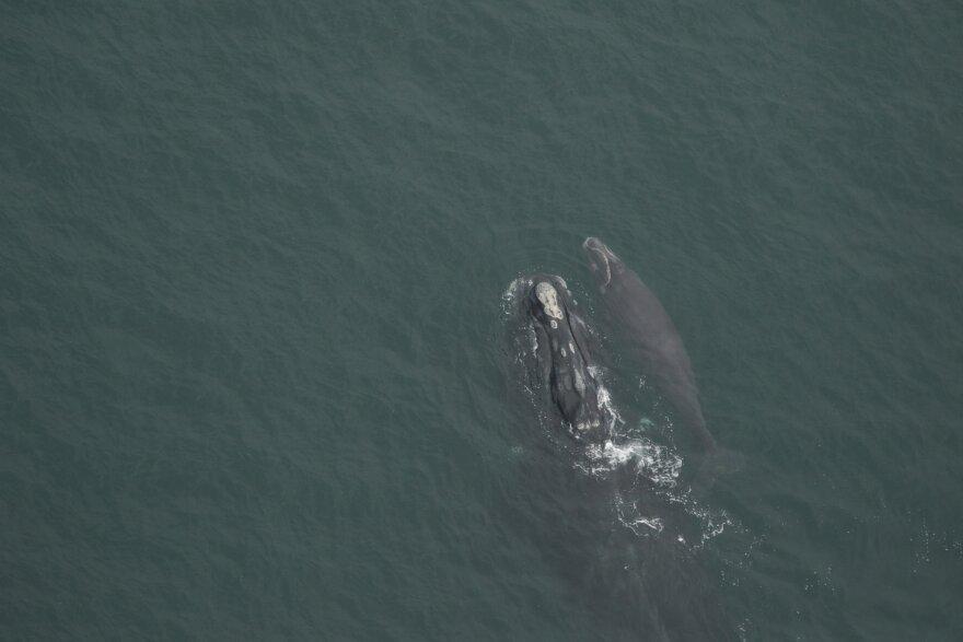 right-whale.jpg