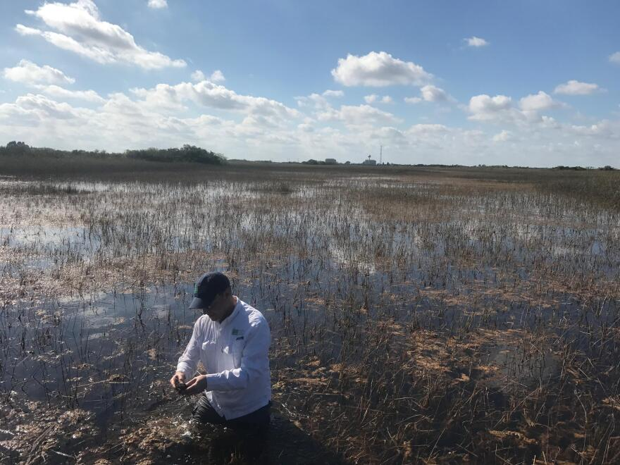 Steve Davis, an ecologist at the Everglades Foundation, examines a glob of periphyton in a water conservation area near Tamiami Trail.