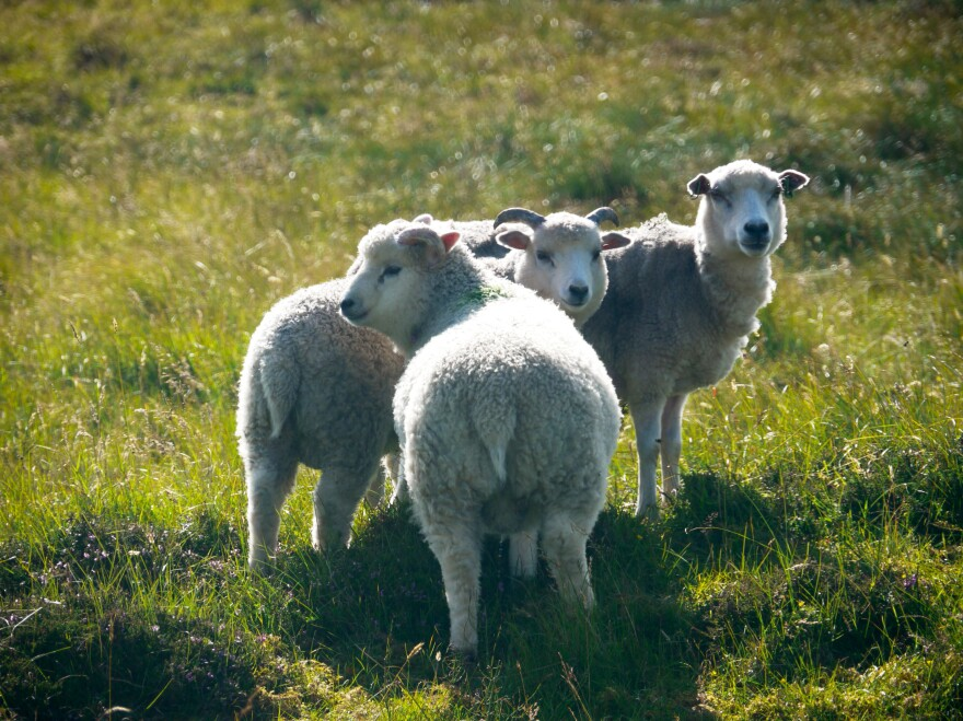 Sheep in the Shetland Islands (human population: 22,000) outnumber people by about 20 to 1.
