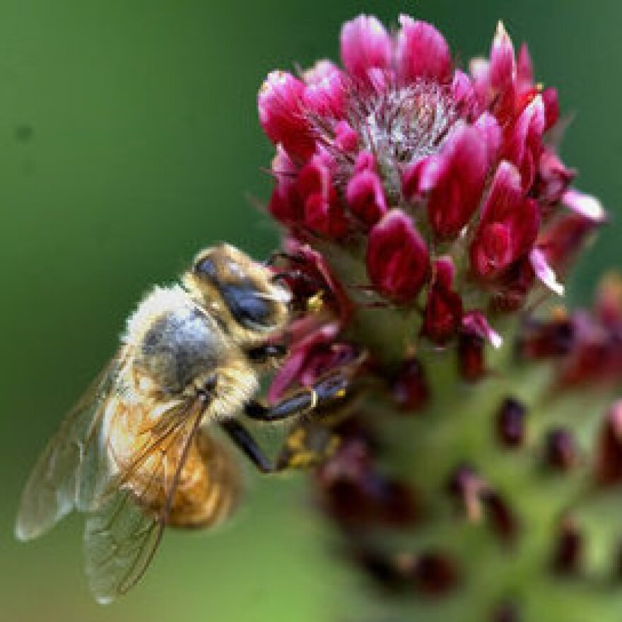 A bee buzzes the crimson clover at Monticello.