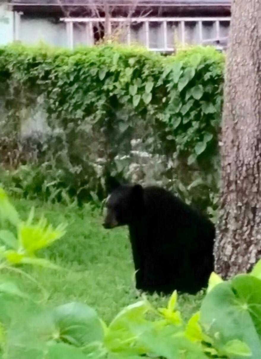 6-21-16_Bear_M.jpg