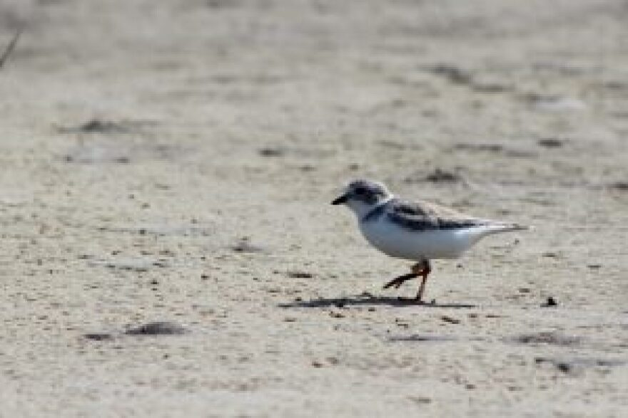 Piping plover trots along the sand