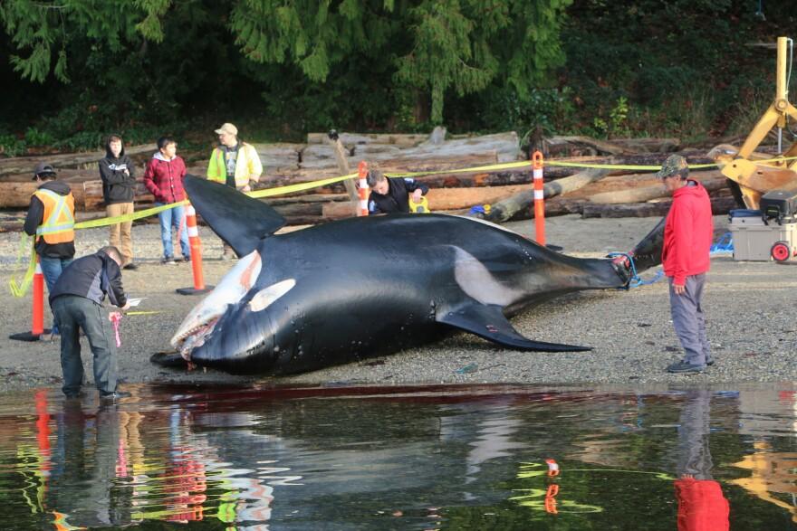 J34 orca carcass.jpg
