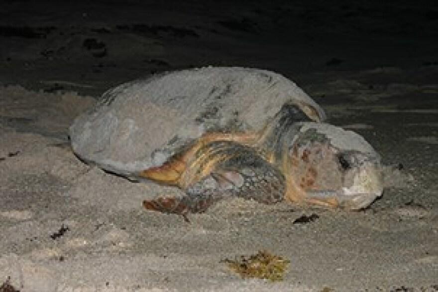 A loggerhead sea turtle on the beach