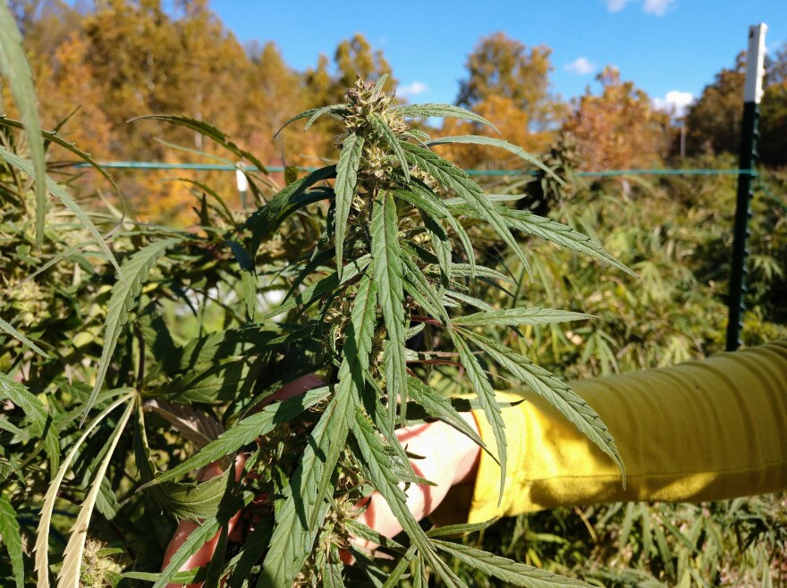 Melson shows off one of her hemp plants. She and her team harvested about 220 plants this season.