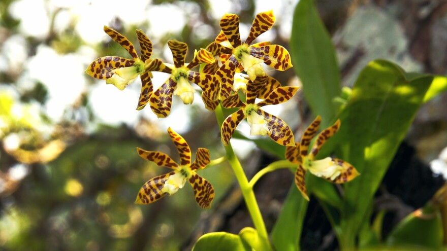 The dollar orchid (<em>Prosthechea boothiana</em>) is among the native species soon to be planted in South Florida trees.
