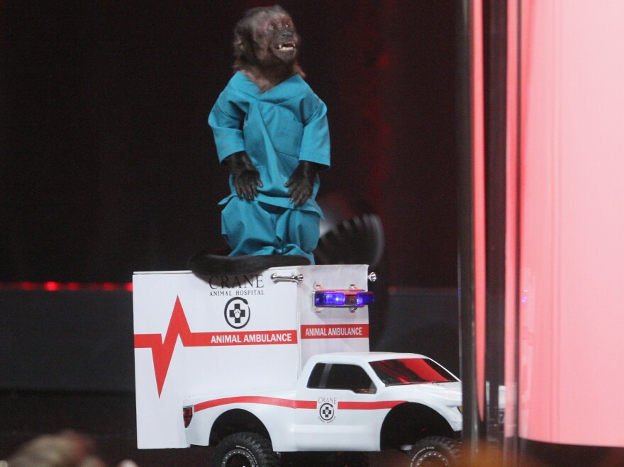 Crystal the Monkey shows up to promote NBC's new comedy <em>Animal Practice</em>.