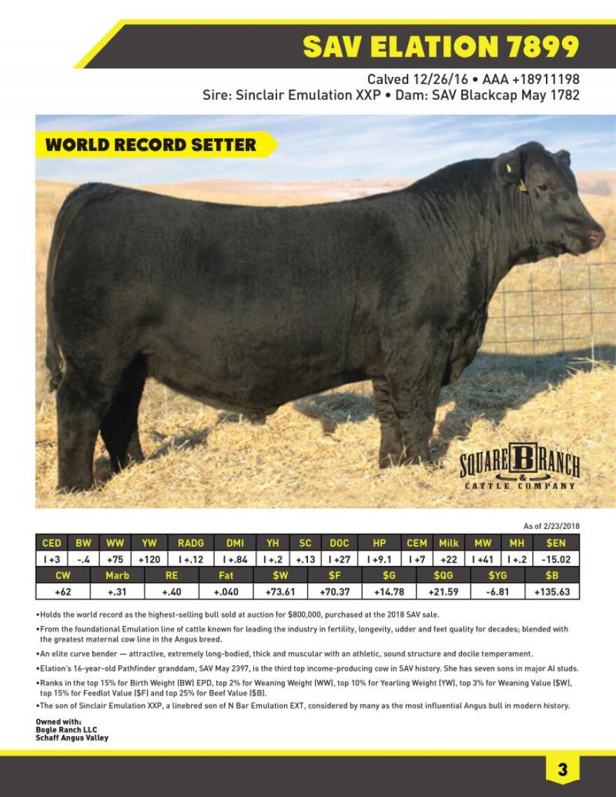 Elation's pedigree is touted in a semen sales catalog. To obtain the bull's semen, Elation mounts a steer (castrated bull) twice a week and his penis is diverted to the side of the steer. There, it's fastened to an artificial vagina to collect the sample, straws of which will be sent around the world.