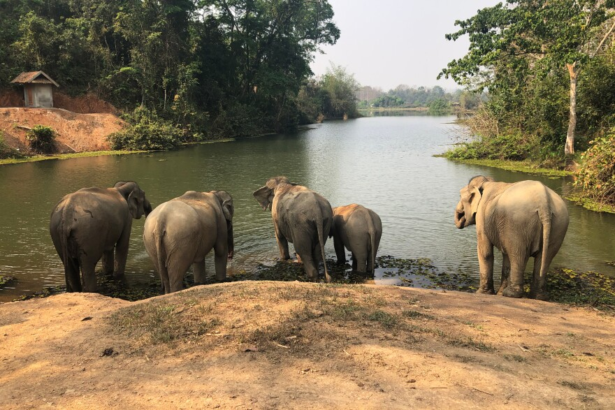 A group of elephants at the conservation center stand in one of the park's many watering holes. Each day the elephants are led to water to socialize and take a bath. This socialization time is an important part of their daily routine.