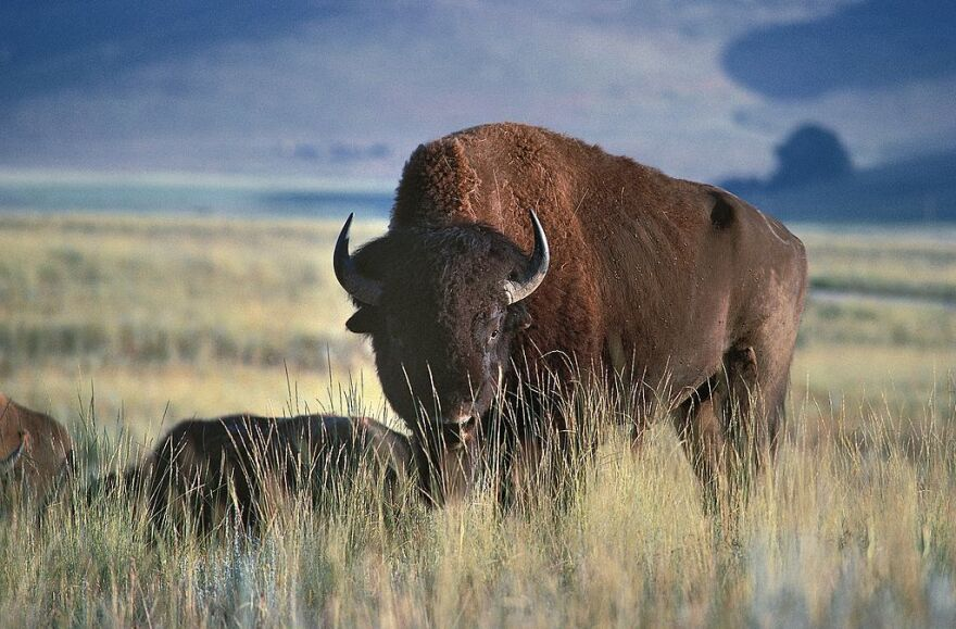 A North American bison in Glacier National Park, Montana.