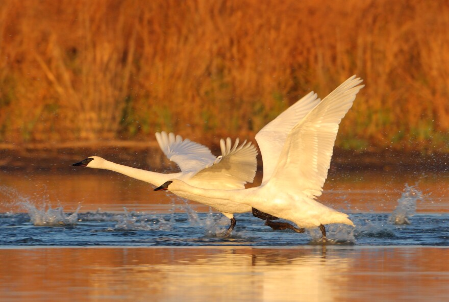 Trumpeter_swans_taking_off_by_Danny_Brown_0.jpg