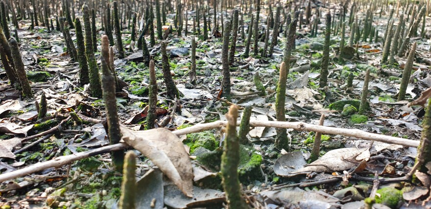 The roots of mangroves, poking through swamp mud, serve as breeding areas for fish.