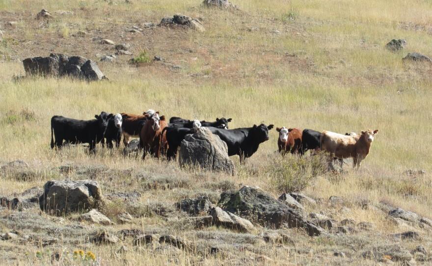 cattle grazing RR-SNF.jpg