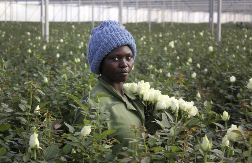 On Feb. 1, Phanice Cherop works at the AAA Growers' farm in Nyahururu, four hours' drive north of the capital Nairobi, in Kenya. Last year Kenya exported more than 6.8 million cut flowers to the United States.