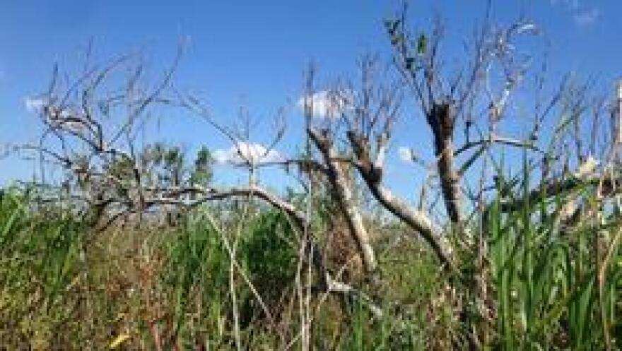 """Callie Walker with the department of ag said seeing these abandoned groves is """"heartbreaking."""""""