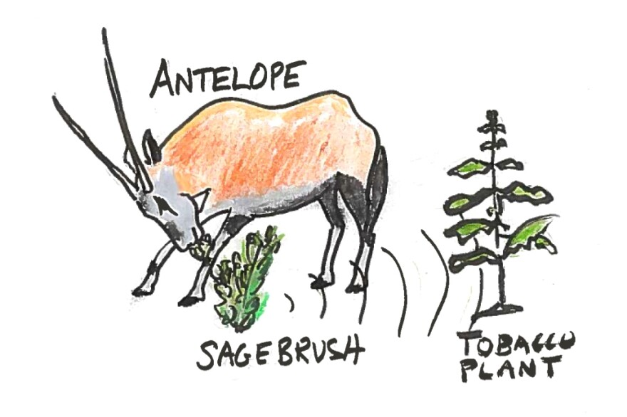9. A pronghorn antelope and sagebrush.