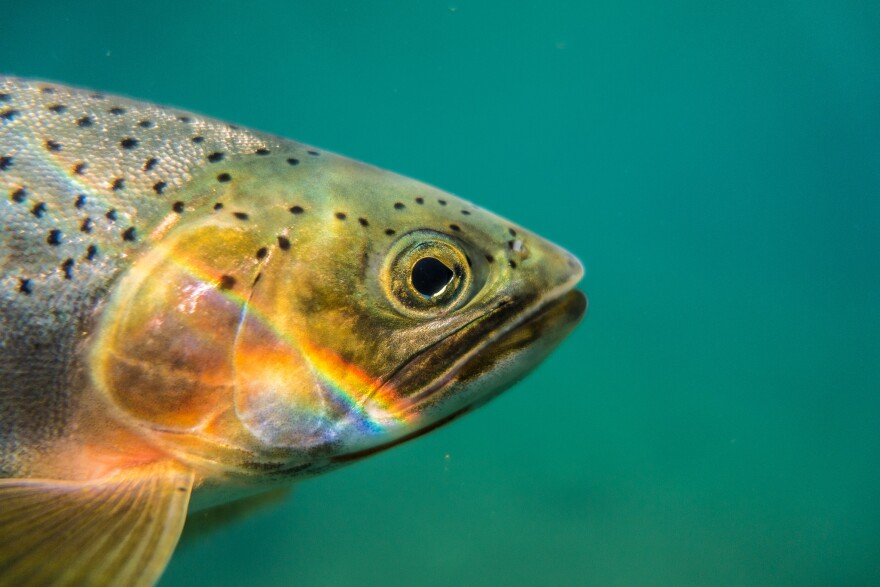 Close-up photo of a cutthroat trout.