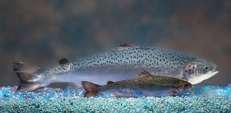 AquaBounty's salmon (rear) have been genetically modified to grow to market size in about half the time as a normal salmon — 16 to 18 months, rather than three years.