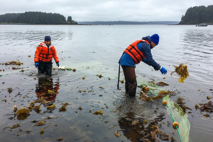 Fisheries biologist Mike Litzow (right) clears kelp from the seine he uses to catch young cod for a study to help determine whether the species will bounce back in the Gulf of Alaska.