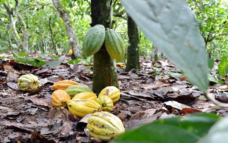 Cocoa pods in Ivory Coast, one of the world's top producers of cocoa. Climate models suggest that West Africa, where much of the world's cocoa is grown, will get drier, which could affect supply.