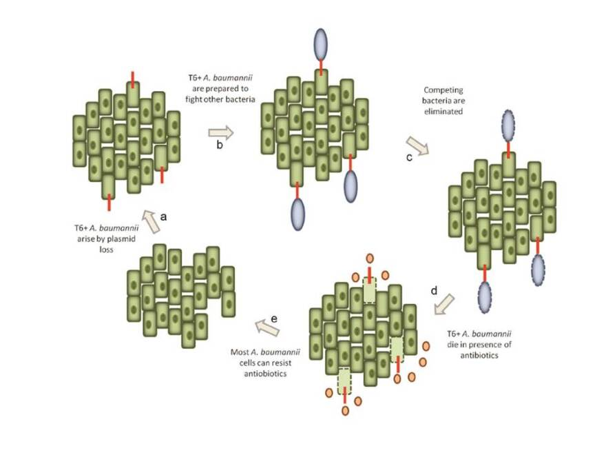 This illustration from figure 5 in Feldman and Weber's study publication in the Proceedings of the National Academy of Sciences shows how A. baumanni switch between drug resistance and the ability to kill competing bacteria.
